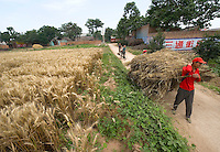 A farmer carries harvested wheat to the road, near Yongji, Shanxi province, China, on June 12, 2010. Known as the country of rice, China is also the world's main producer of wheat, with an annual output of 112 million tons. In this little village of Shanxi province, Chinese farmers use a clever way to detach the wheat's seed from the thatch. They lay the wheat down the public road, and wait for vehicles to drive. The velocity's strength detaches the seeds from the thatch. The farmers need not to beat the wheat manually anymore. Photo by Lucas Schifres/Pictobank