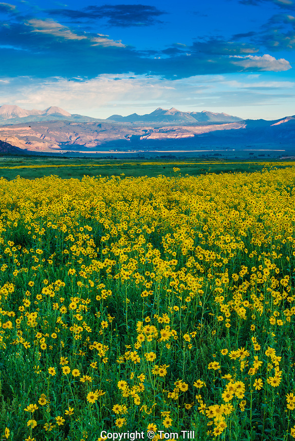 La Sal Mountains and desert sunflowers, Paradox Valley, Colorado