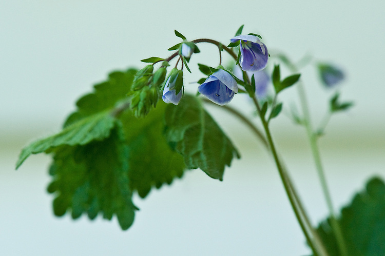 Germander speedwell (Veronica chamaedrys), hedgerow, East Sussex, end May