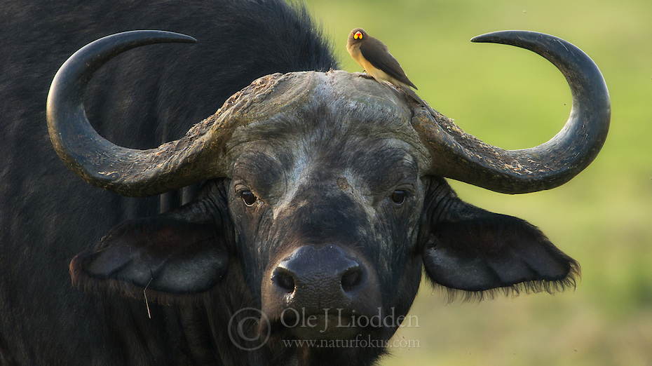 African Buffalo (Syncerus caffer) with Red-billed Oxpicker (Buphagus erythrorhynchus), Masai Mara, Kenya