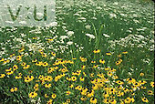 Field of Black Eyed Susans ,Rudbeckia hirta, and Queen Anne's Lace ,Daucus carota,.