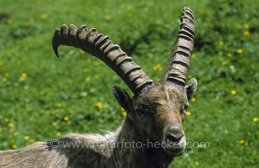 Alpen-Steinbock, Alpensteinbock, Steinbock, Männchen, Bock, Portrait, Capra ibex, alpine ibex