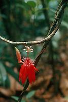 Passiflora (passion flower) (family: Passifloraceae) in tropical rainforest, Guiana Highlands, Venezuela.