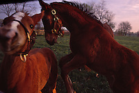 Frisky foals play romp and play in the pasture of a Kentucky thoroughbred horse farm.