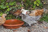 Hühnerküken, Küken im Garten, trinken aus Wasserschale, Zwerghuhn, Zwerghühner, glückliche Hühner, freilaufende Hühner, artgerechte Tierhaltung, Landidylle, Idylle