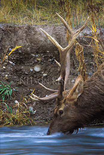 Bull Elk drinking from a flowing stream in Montana