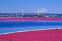 Richmond, BC, British Columbia, Canada - Harvesting Cranberries (Vaccinium macrocarpon) in Flooded Bog Field on Cranberry Farm - Mount Baker, Washington, USA in background