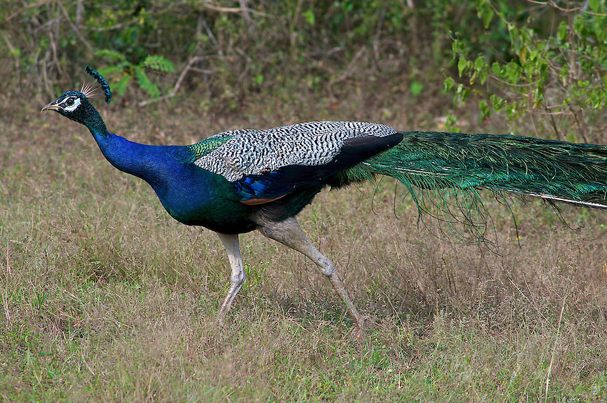 Peacock - Yala National Park, Sri Lanka