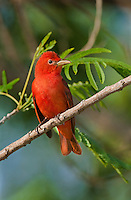 580980010 a wild male summer tanager piranga rubra songbird perches in a small tree on south padre island cameron county texas united states