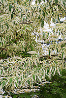Cornus controversa 'Variegata&rsquo; (Variegated Giant Dogwood) showing branches, leaves foliage, flowers in spring May bloom