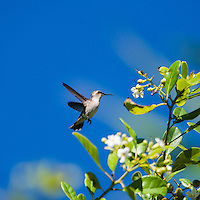 An endemic female Bee Hummingbird (Mellisuga helenae) in flight, showing the white tips on her retricies. Cuba.