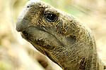 Asian Mountain Black Turtle