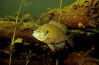 Bluegill near Fish Crib<br />