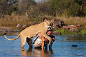 Botswana, Kalahari, Valentin Gruener cuddling with a lioness he raised on a private reserve from a small dying cub to a healthy adult