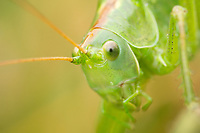 Great green bush-cricket (Tettigonia viridissima). Dorset, UK.