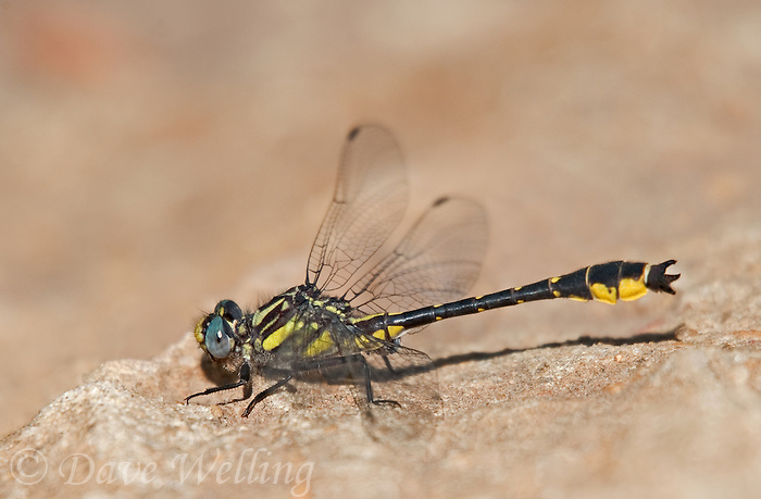 333900012 a wild male banner clubtail dragonfly gomphus apomyius perches on a rock along indian creek jasper county texas united states
