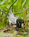 Black Tern (Chlidonias niger) adult brooding newly-hatched chick at nest, Perch River Wildlife Management Area, New York, USA