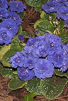 Vivid blue flowers of perennial Primula 'Belarina Cobalt Blue'