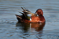 Cinnamon Teal Preening