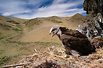 Rough-legged hawk or buzzard juvenile in nest, Gobi Gurvansaikhan National Park, Mongolia