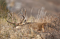 Trophy mule deer buck (Odocoileus hemionus)sleeping on ridge top