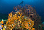 A diver looks on at sea fans (Iciligorgia schrammi) on a St Lucian reef