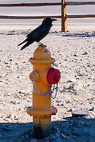 United States, California, Death Valley. Stovepipe Wells, a common raven on a fire hydrant.