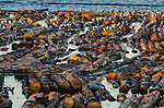Find the seals! Seals bask on logs in a floating pen at sunset, surrounded by gulls. Port Angeles, WA