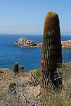 Giant Barrel cactus on Isla Santa Catalina