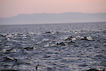 Common dolphins at dusk in the Gulf of California