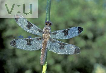 Dewy Dragonfly, North America.