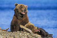 Brown bear sow and cub on the beach of Naknek Lake, Katmai National Park, Alaska.