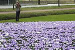 Foto: VidiPhoto<br /> <br /> NIJKERK - Als er ergens een plek is waar de lente zichzelf overtreft, dan is het wel aan de rand van het dorp Nijkerk op de Veluwe. De duizenden bollen die najaar 2016 zijn geplant, staan maandag volop in bloei. Met als gevolg dat evenzoveel honingbijen, hommels en andere insecten af en aan vliegen om de uitbundig bloeiende paarse en witte krokussen te ontdoen van hun voorraad stuifmeel. Maar niet alleen op insecten heeft de krokusweelde bijzondere aantrekkings, ook passanten stoppen regelmatig om te genieten van de uitzonderlijke hoeveelheid lentebloeiers. Tot en met donderdag houdt de lente nog aan, daarna dalen de temperaturen en is er sprake van wisselvallig weer.