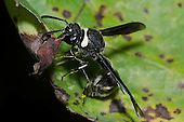 Potter Wasp (Eumenes fraternus), Lexington Wildlife Management Area, Oklahoma, USA