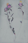 Photograph of pressed purple flowers.