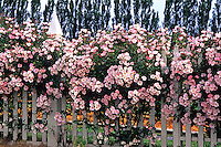 Shrub Rose 'Carefree Delight' flowers covering picket fence in California garden