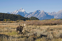 Moose, Alces alces, bull with teton range in background, Grand Teton NP,Wyoming, USA
