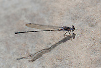 338680009 a wild male tezpi dancer argia tezpi perches on a rock near the lake at parker canyon lake cochise county arizona