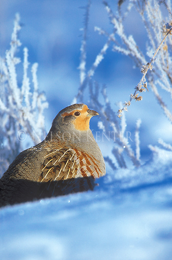 "Hungarian Partridge or ""Hun"" in the snow on a frigid winter morning in Montana"