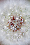 An abstract, close-up view of a dandelion seed head
