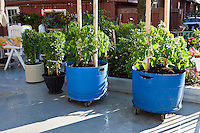 A  container garden with tomato and basil plants in movable blue plastic barrels.