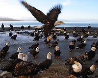 Flock of American bald eagles (Haliaeetus leucocephalus) on beach, Homer, Alaska.