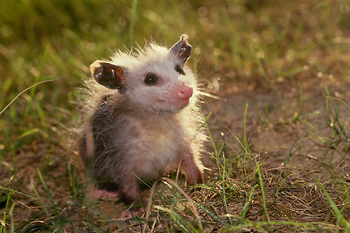 Baby opossum smiles in afternoon light | Mother-Daughter Press