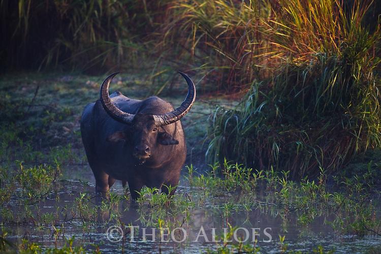 India, Kaziranga National Park, Indian water buffalo  (Bubalus arnee) in swamp, Kaziranga National Park, Assam, India