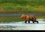 Alaskan Coastal Brown Bear at Sunset, Silver Salmon Creek, Lake Clark National Park, Alaska