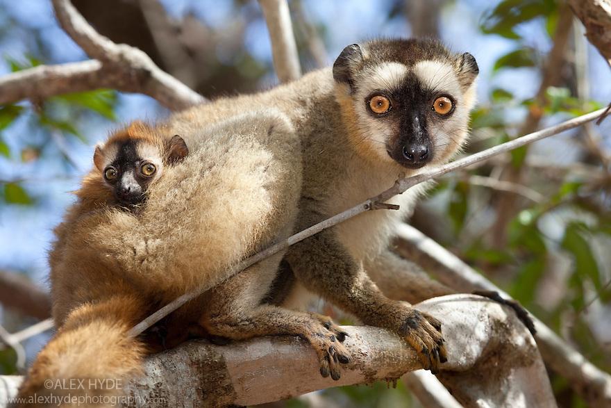 Red fronted brown lemur lemur fulvus rufus with baby
