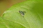 Long-legged Fly, Dolichopodidae, Southern California
