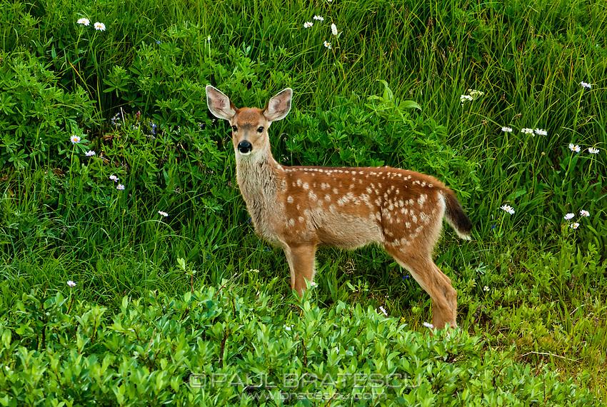 White-Tailed Deer, Paradise, Mount Rainier, Washington
