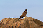 A Galapagos Hawk on he Southeastern Island of Espanola in the Galapgos National Park, in Ecuador, South America which is home to sea lions, marine iguanas, blue footed boobies, and Nazca Boobies plus many different species of animals and birds.