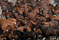 A myriad of dun colored wild horses run through the dry Nevada desert in the Jackson Mountains.